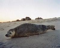 """Dan Torop, """"Amagansett Seal,"""" (2004), c-print."""