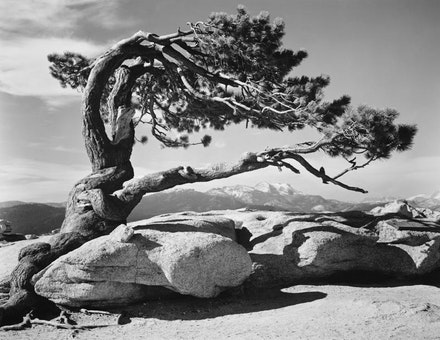 "Ansel Adams, c.1940. ""Jeffrey Pine, Sentinel Dome, Yosemite National Park."" Courtesy Center for Creative Photography, Tucson, Arizona."