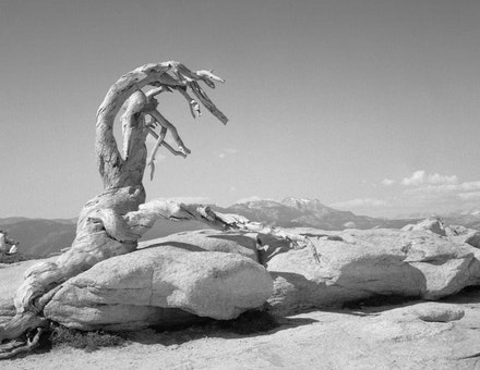 "Mark Klett and Byron Wolfe, 2002. ""The trunk of the Jeffrey Pine, killed by time and drought, Sentinel Dome."""