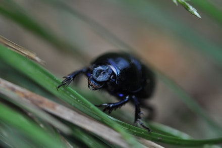 Anoplotrupes stercorosus. Photo: Jana Winderen.