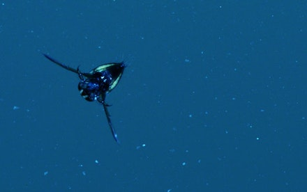 Underwater insect recorded in Gøtakanal, Sweden (2012). Photo: Jana Winderen.