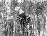 "ohn Szarkowski, 'Young Pine in Birches"" (1954), gelatin silver print; collection San Francisco Museum of Modern Art. Accessions Committee Fund purchase; ©John Szarkowski."