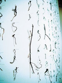 """<i>Cui Fei, """"Manuscript of Nature V"""" (2002), installation of tendrils and pins. Courtesy of the artist.</i>"""