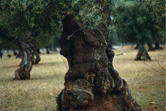 Olive Tree (Puglia)