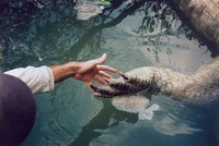 Detail of American Crocodile in the Everglades that succumbed to the severe cold front in 2010, here seen in comparison to a human hand. Courtesy David Brooks.