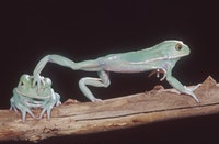 Waxy monkey frogs, which live in the dry Chaco region in Argentina, Paraguay, and Bolivia, seal in moisture by rubbing a waxy secretion all over their bodies. This keeps them from dehydrating in extremely hot temperatures. C  Joe McDonald, Clyde Peeling's Reptiland.