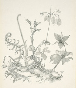 Gray Foy, <em>Connecticut Plants</em>, 1949. Fine Arts Museums of San Francisco; museum purchase, George de Batz Collection, Achenbach Foundation for Graphic Arts Endowment Fund. &copy; 2018 Estate of Gray Foy.