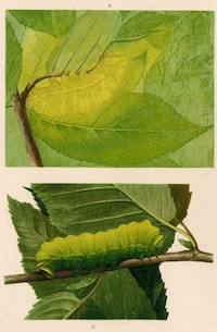 Thayer Abbot Handerson, <em>Concealing-Coloration in the Animal Kingdom (detail of Plate XII, Luna Caterpillar (Actias Luna) a) in position), b) inverted),</em> 1909.