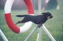 <i>Gripper was adopted through BARC shelter and is flourishing as an agility champion. Photo courtesy www.agilitynut.com</i>