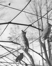 <i>Horned Owl. Photo courtesy Theodor Horydczak Collection (Library of Congress).</i>