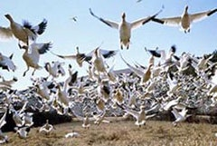 Snow geese in