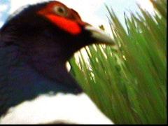 "Sam Easterson, ""Pheasant-Cam (Profile)"" (2006). Iris print. 10"