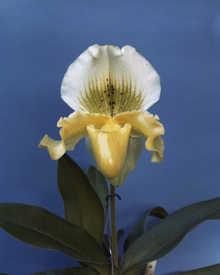 "Sherrie Levine, ""Gottscho-Schleisner Orchids: 2,"" 1964–1997. Chromogenic print, 20 x 16"". Private collection. Image courtesy Paula Cooper Gallery, New York. © Sherrie Levine."
