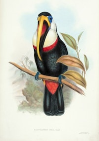 John Gould and Henry Constantine Richter, Ramphastos Inca, lithograph with hand-coloring, 1846.